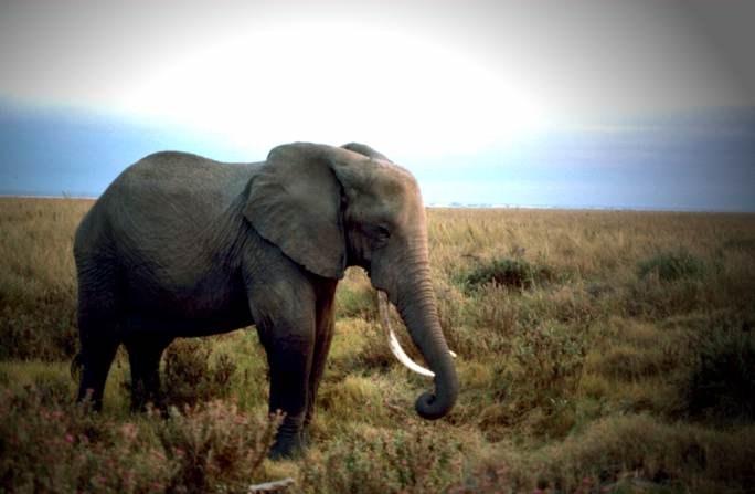 elephant-standing